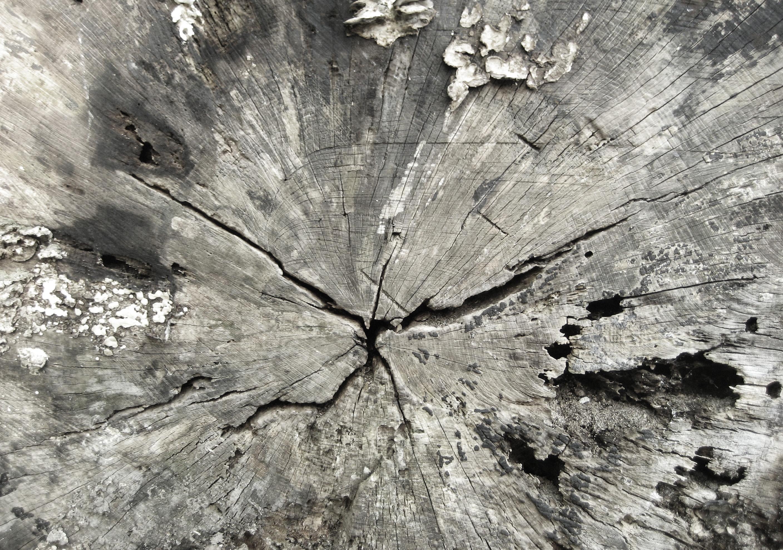 Centrum af et fældet træ